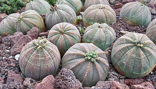 Image result for Euphorbia Obesa