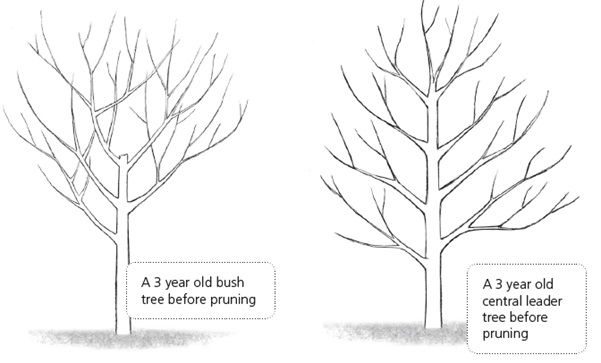 Image result for fruit tree fruit tree pruning UK