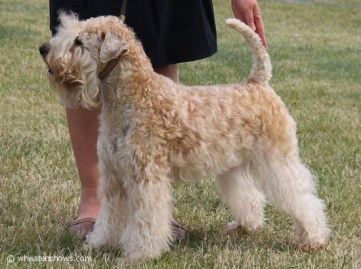 2014-08-03_Iness-Wheaten-Lulaby_2168