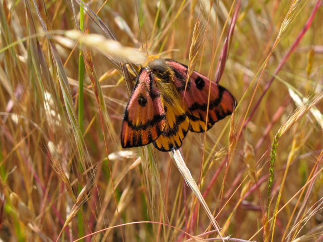 as pretty as a butterfly......Elegant Day Moth