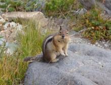 bold ground squirrel at Sunrise