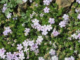 phlox, among the many alpine wildflowers at Hurricane Ridge in the summer
