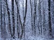 woods in winter white
