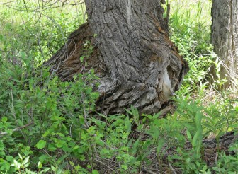 Ground squirrels everywhere, in Idaho, Montana and the park. This was created great excitement and a lot of activity for Abby! Here a squirrel from a hollow in a tree as we walk by in a campground Gand Teton NP.