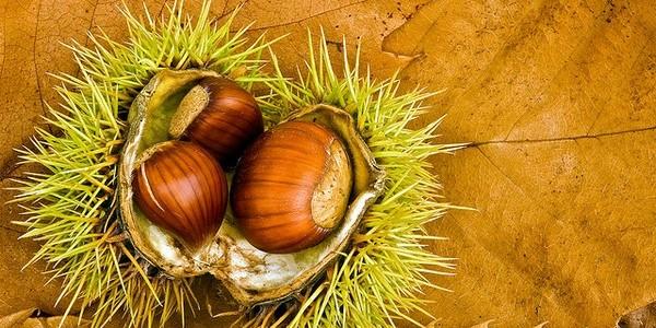 Сеъдобные каштаны: фото, где растут и полезные свойства