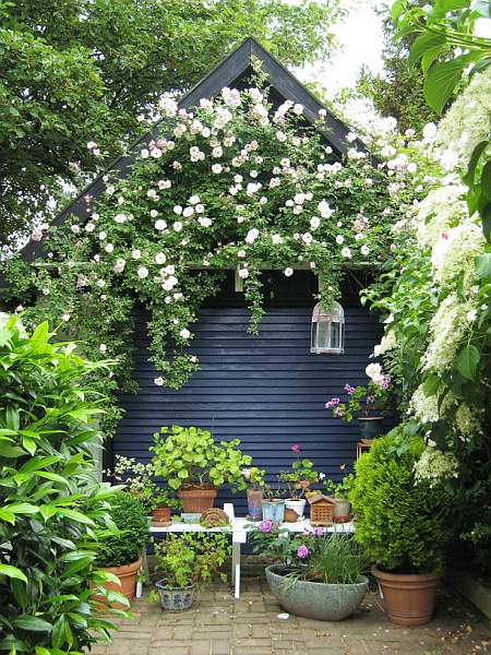 black garden shed with climbing tea roses