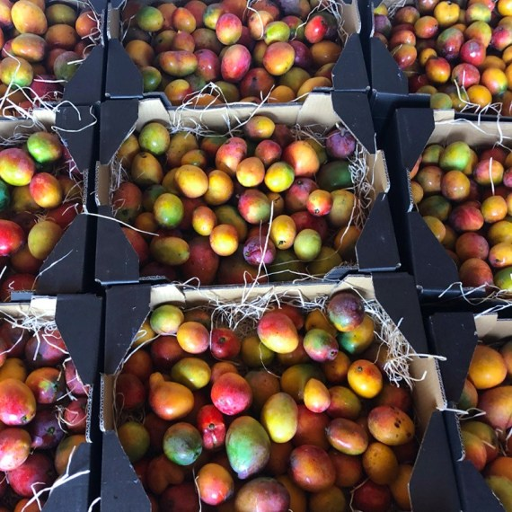 cajas de mango bombón