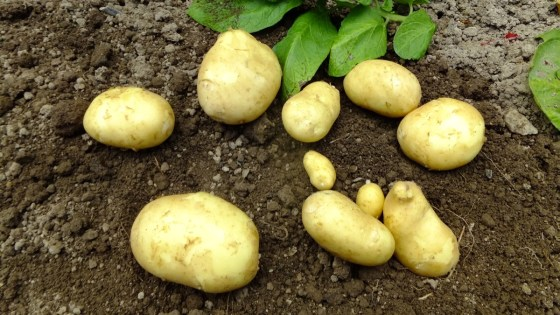Primeras patatas 2013