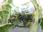 Larvas jóvenes