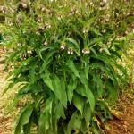 foto de una gran consuelda rusa en flor en el huerto