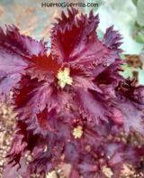 ya se puede ver la flor de la perilla frutescens