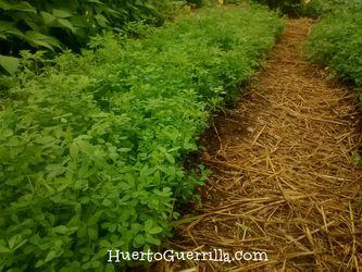 foto de alfalfa creciendo. abono verde