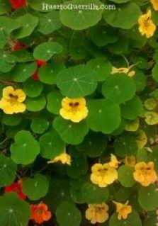 mata de planta capuchina. flores amarillas