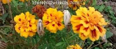flores de tagete bicolor