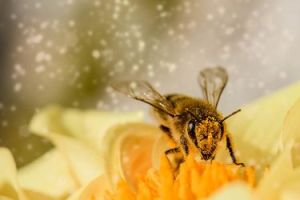 abeja cogiendo polen de una flor amarilla
