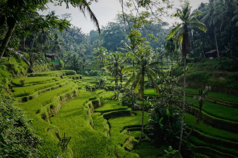 Rice Terraces in Bali, Indonesia