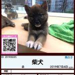 201900225 柴犬