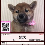 201900236 柴犬