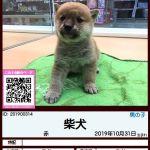 201900314 柴犬
