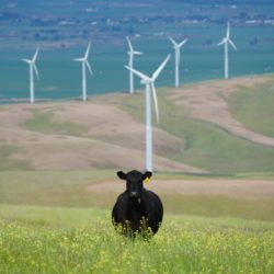 Cow and wind turbine