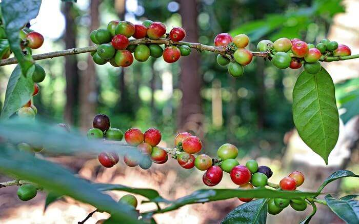 Fresh green and red coffee in a garden