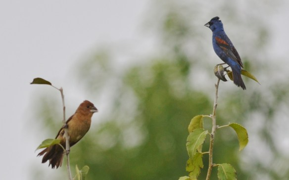 Blue Grosbeak  and Cardinal