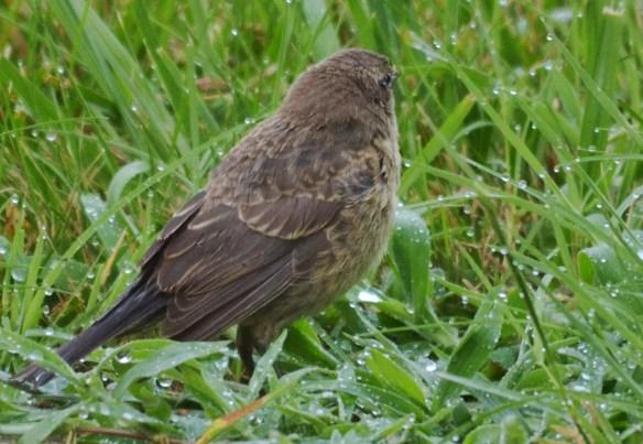 Cowbird (Juvenile)