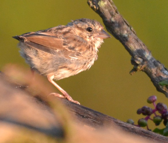 Unknown Sparrow