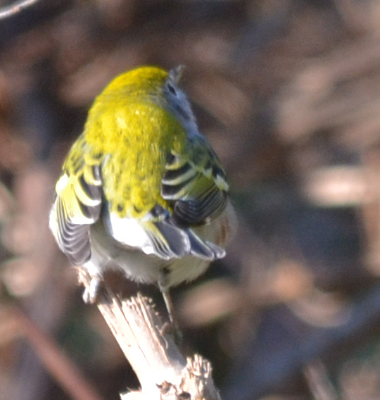 Unknown Warbler