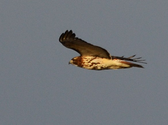 Red Tailed Hawk 32