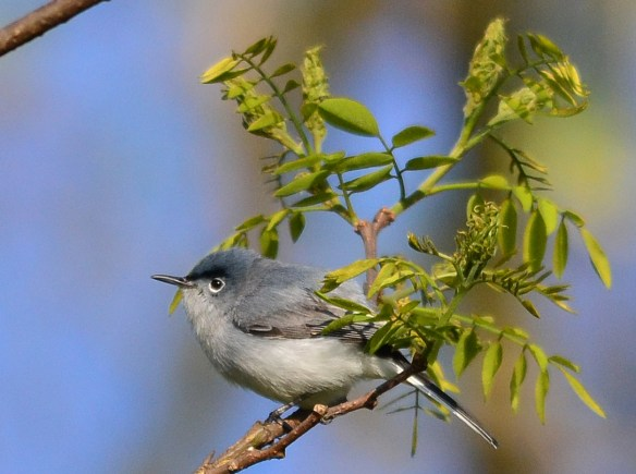 Blue Gray Gnatcatcher 35