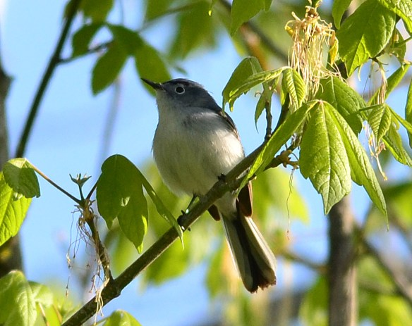 Blue Gray Gnatcatcher 36
