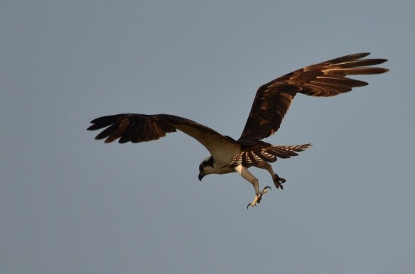 Osprey 188