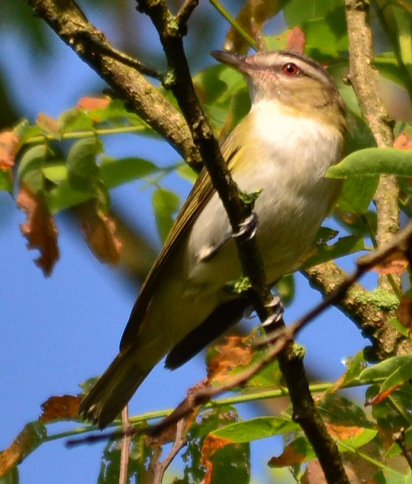 Red Eyed Vireo