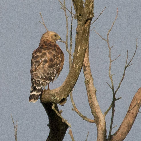 Red Shouldered Hawk 60