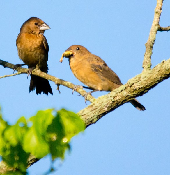 Blue Grosbeak 77
