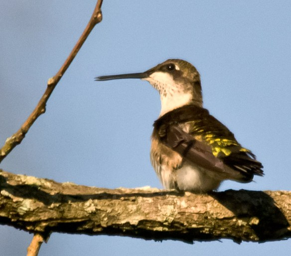 Ruby Throated Hummingbird 161