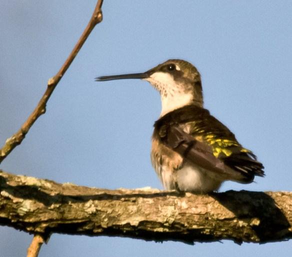 Ruby Throated Hummingbird 161