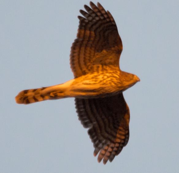 Cooper's Hawk 98