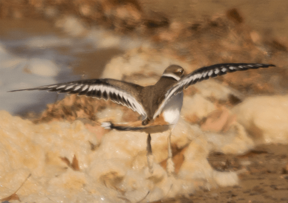 This is the first Killdeer I've seen at Jonas Green.