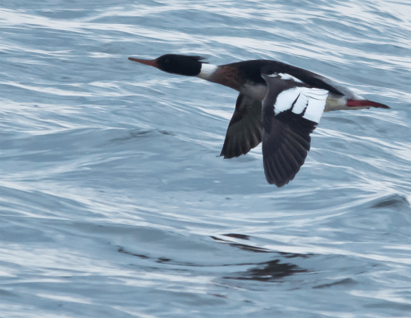 Red Breasted Merganser 45