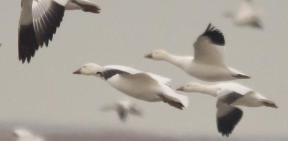 Snow Goose 10