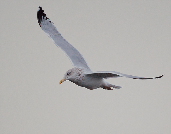 Herring Gull 7