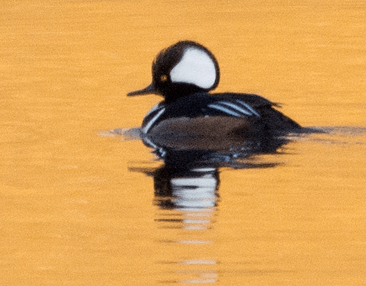 Hooded Merganser 104