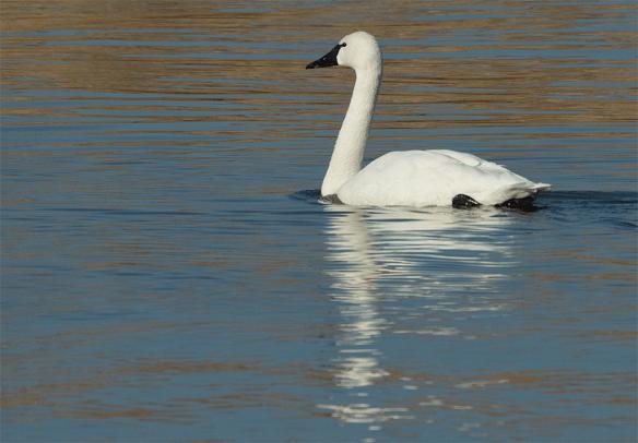 Tundra Swan 68