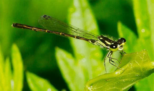 Damsel Fly 6