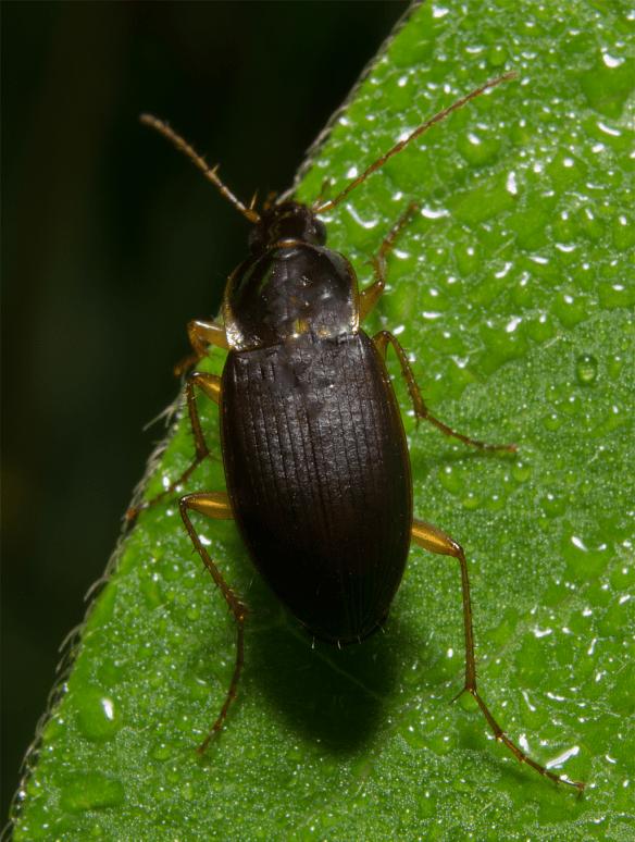 Beetle 27