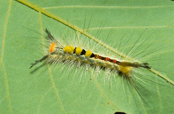 Caterpillar 71