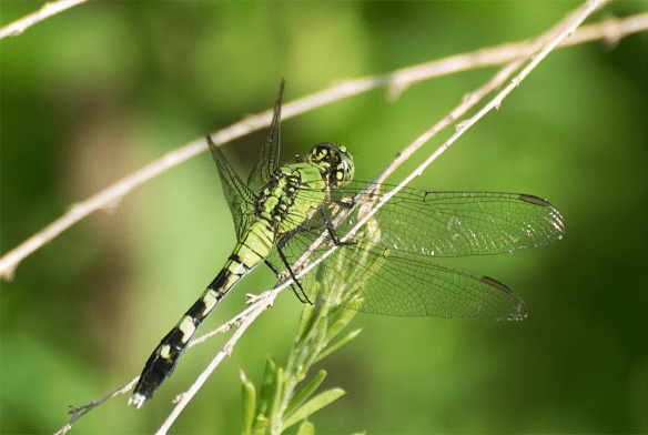 Dragonfly 98