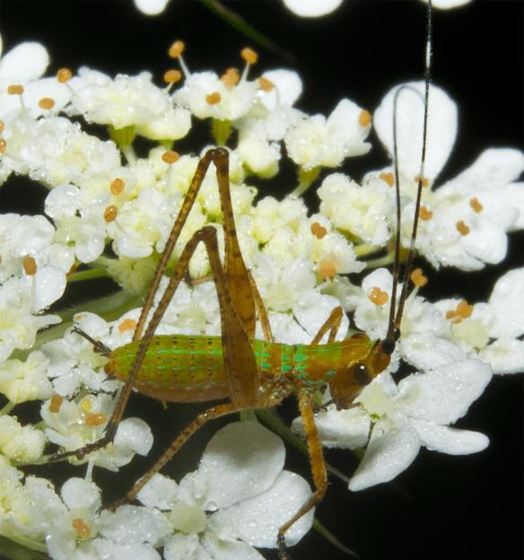 Grasshopper 43
